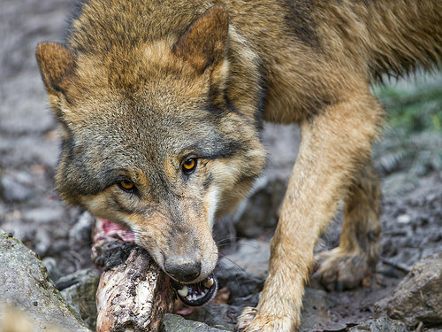 What do wolves eat in the wild?