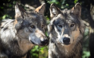 Wolves, the lions of the Northern Hemisphere