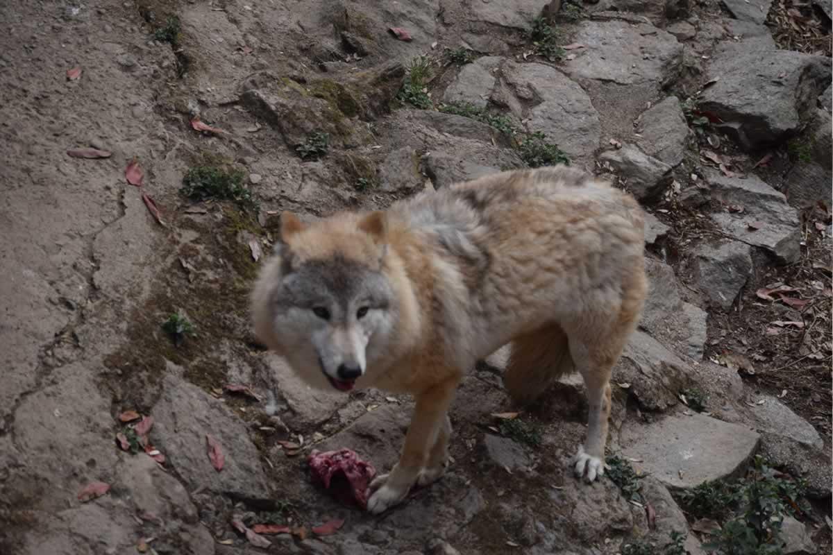 himalayan-wolf-eating