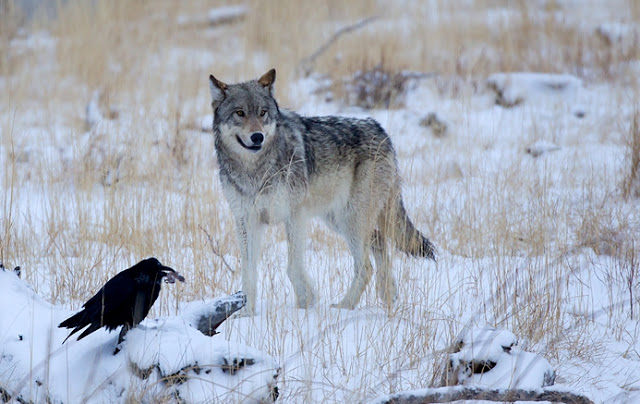 wolf and raven photo