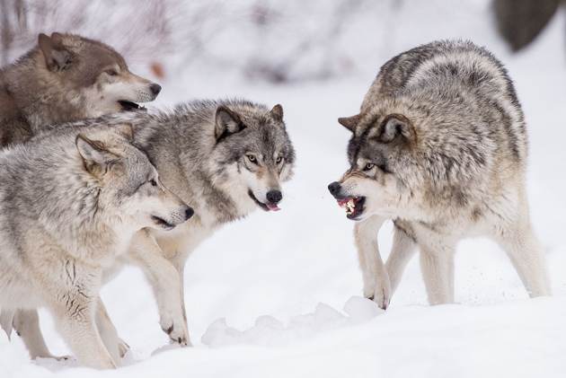 wolf face expressions